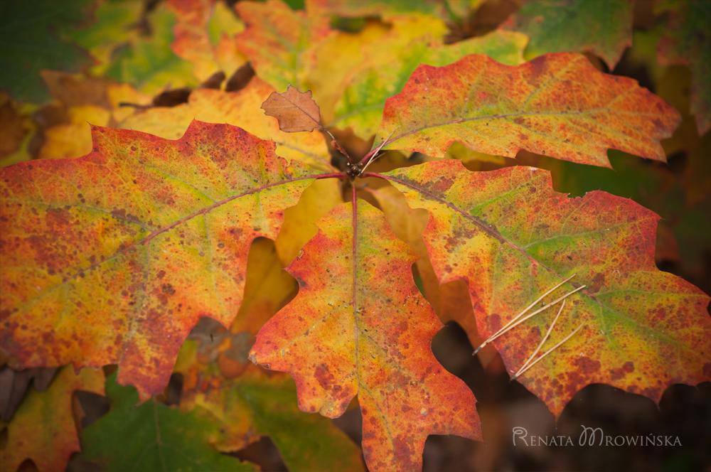 liście dębu czerwonego