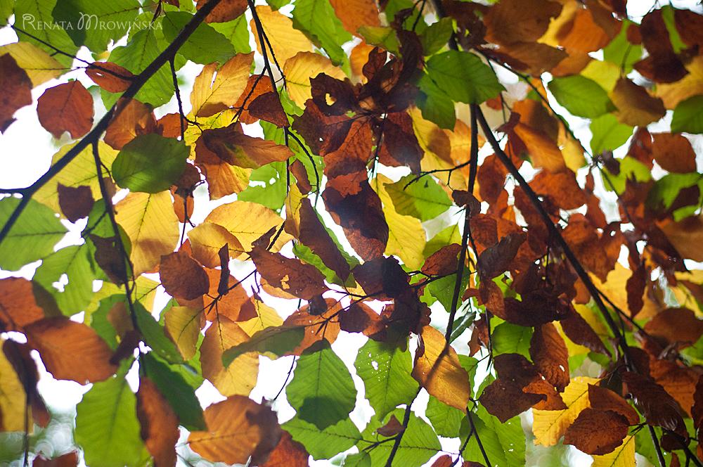 buk zwyczajny przebarwia się na jesień